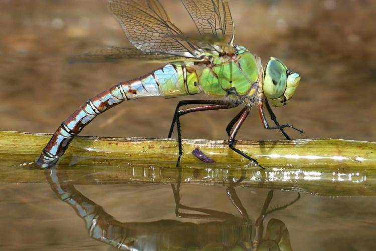 Стрекоза обыкновенная – как живет насекомое?