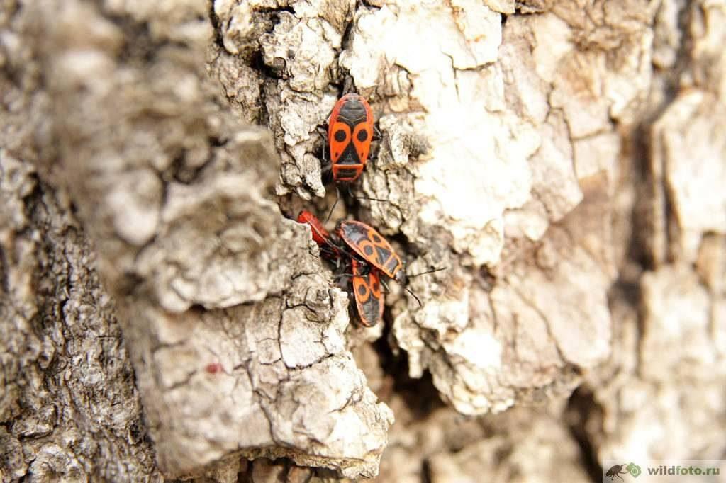 Клоп солдатик, красноклоп и клоп пожарник — это все про одно и тоже насекомое. описание, чем питаются, фото, видео и как избавится от него