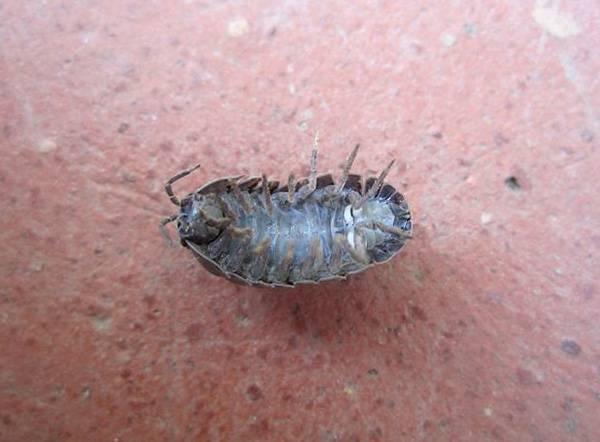 Как избавиться от мокриц в квартире: эффективные средства самостоятельной борьбы с насекомыми