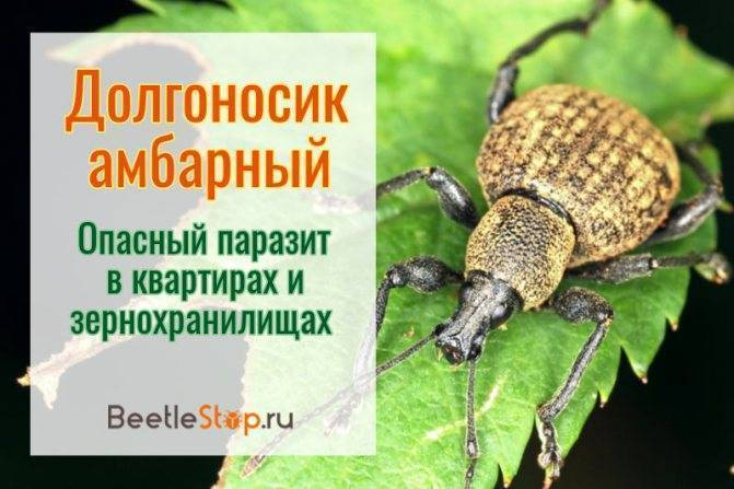 Жук-слоник или жук-долгоносик