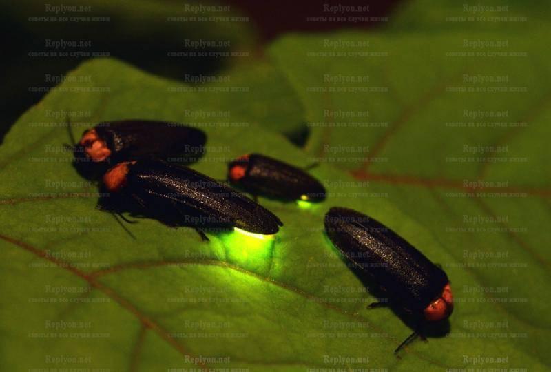 Иванов червячок – зеленый маячок в прибрежной траве. насекомое светлячок: чем питается, где живет и из-за чего светится? обыкновенный светляк
