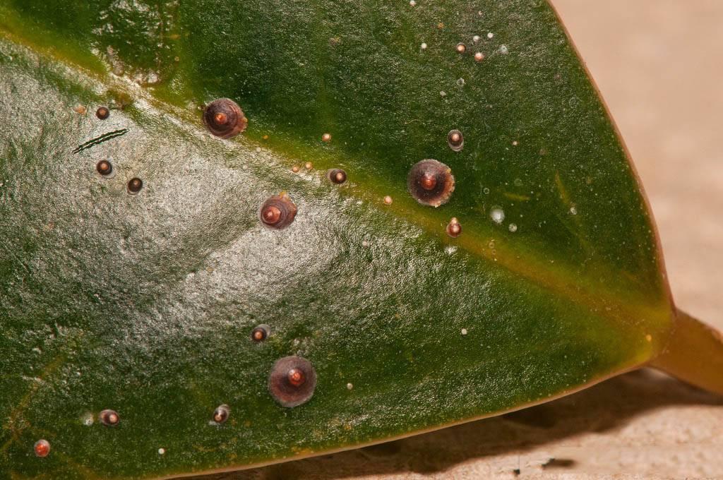 Щитовки: как бороться на комнатных растениях и в саду