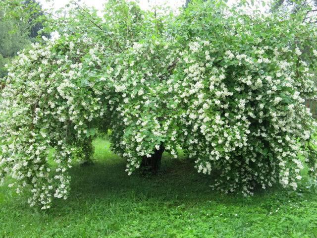 Как ухаживать за садовым жасмином (чубушником) осенью и правильно подготовить к зиме