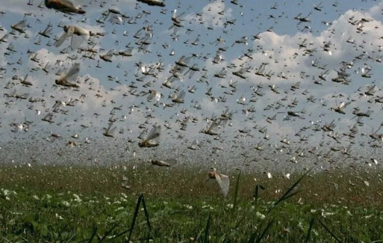 Crime: архив. как бороться с саранчой на огороде для борьбы с саранчой используют