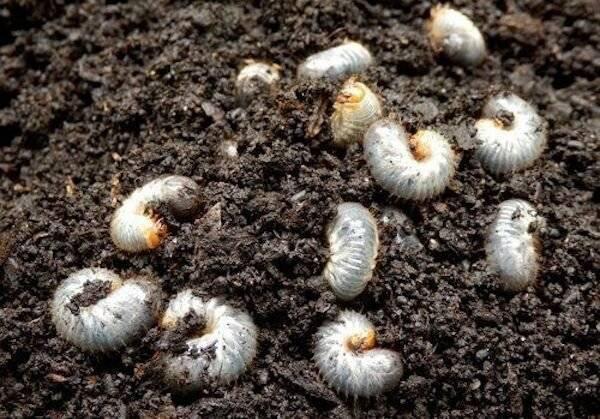 Майский жук: как бороться с хрущом (средства)