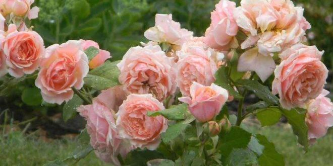 Как бороться с тлей на розах: эффективные препараты и народные средства