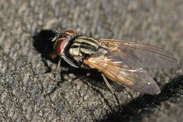 Какие мухи кусаются. кусачие мухи – кто они? почему мухи кусают людей и животных? различия между мухой комнатной, жигалкой и оводом