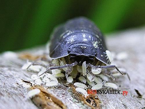 Мокрица в квартире: как выглядит насекомое и чем его вывести? кто такая мокрица – знакомство с вредителем и его домашними видами как выглядит мокрица насекомое.