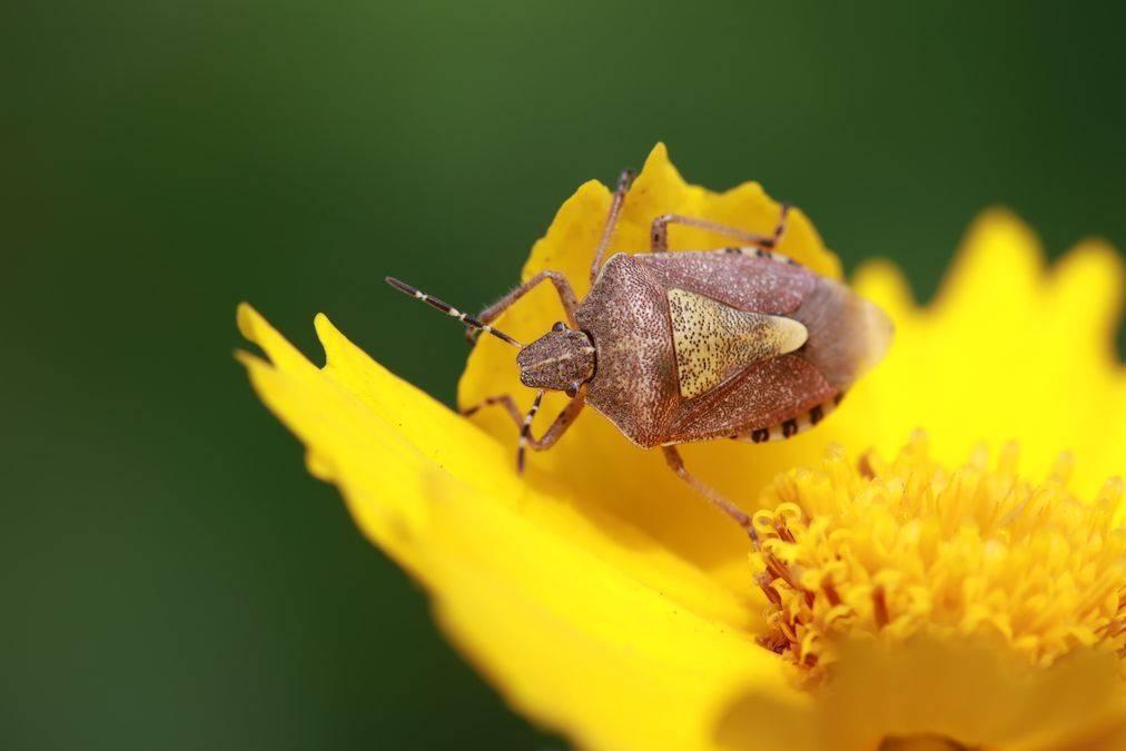 Как навсегда вывести постельных клопов из дома? используем химические средства и народные способы. когда все-таки следует обратиться в специальные службы? фото насекомых