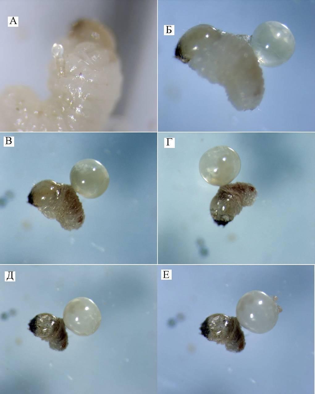 Коллемболы (ногохвостки, подуры): борьба с паразитом в домашних условиях