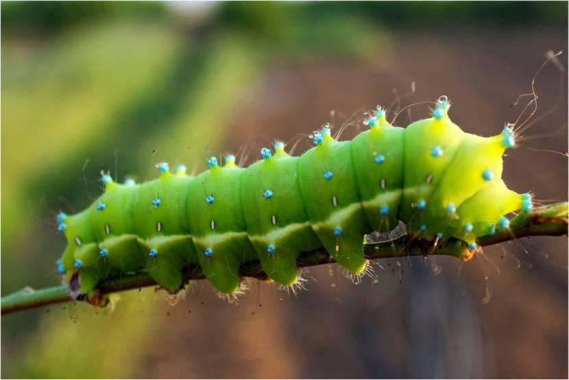 Описание и фото опасных ядовитых гусеницы