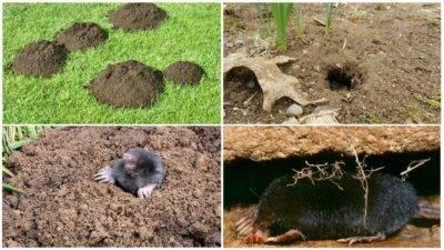 Как навсегда избавиться от крыс в частном доме народными средствами