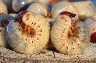 Как избавиться от майского жука (хруща) — 3 способа + 15 рекомендованных препаратов