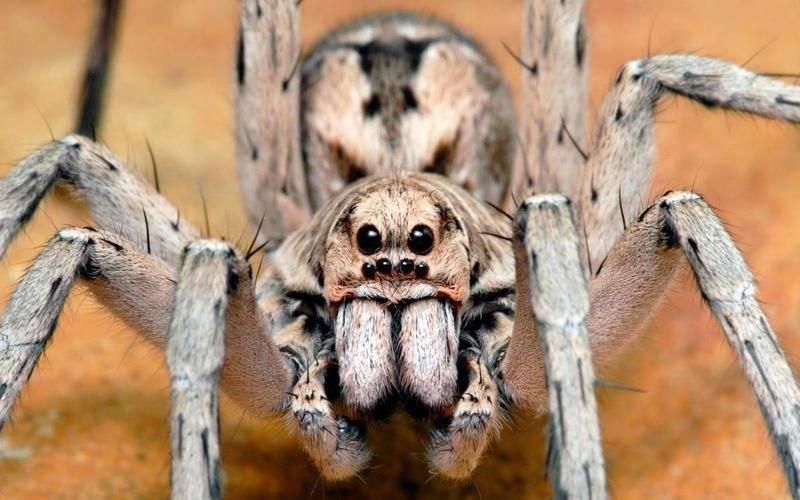 В россии открыт новый вид самого страшного паука в мире