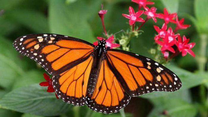 Как зимует бабочка павлиний глаз: раскрываем секреты насекомого
