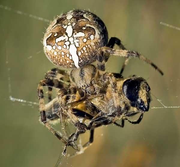 Как выглядит, где обитает и чем питается паук-крестовик