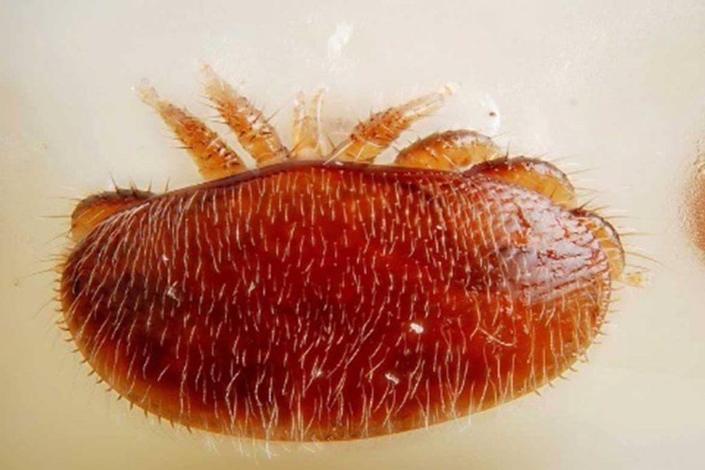 Аргасовые клещи (argasidae) – 17 фото, как выглядят укусы, опасность для человека, вред животноводству и как избавиться раз и навсегда