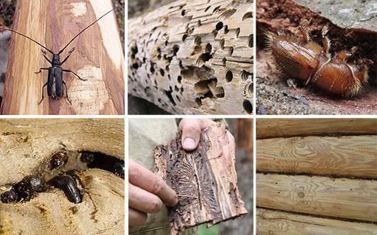 Защита древесины от насекомых-вредителей. жук древоточец