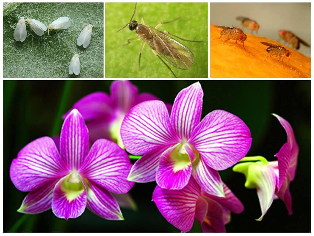 Как избавиться от мошки в орхидее в домашних условиях: простые способы