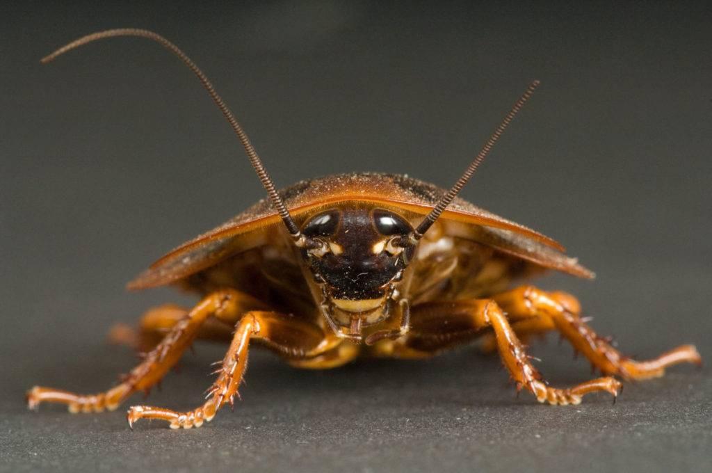 Различные виды тараканов, фото, описание