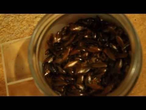 Какие ловушки от тараканов самые эффективные?