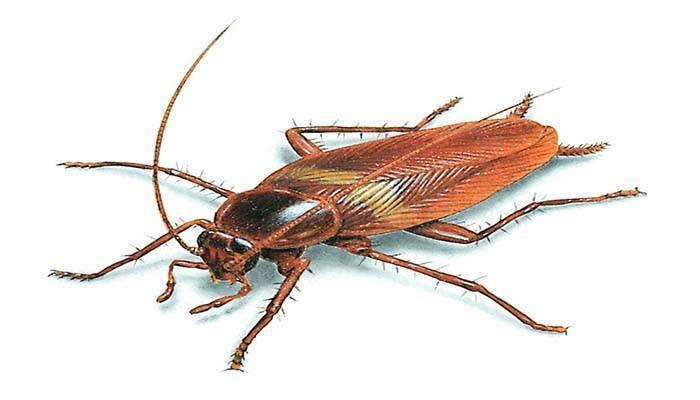 К чему снятся тараканы женщине