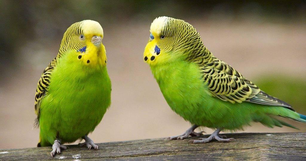 Распространенные болезни волнистых попугаев, симптомы и их лечение доступными методами