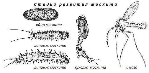 Описание и фото различных видов комаров