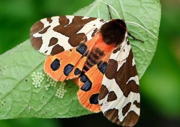 Бабочка медведица госпожа – летнее чудо у ручья. бабочки–медведицы американская белая бабочка