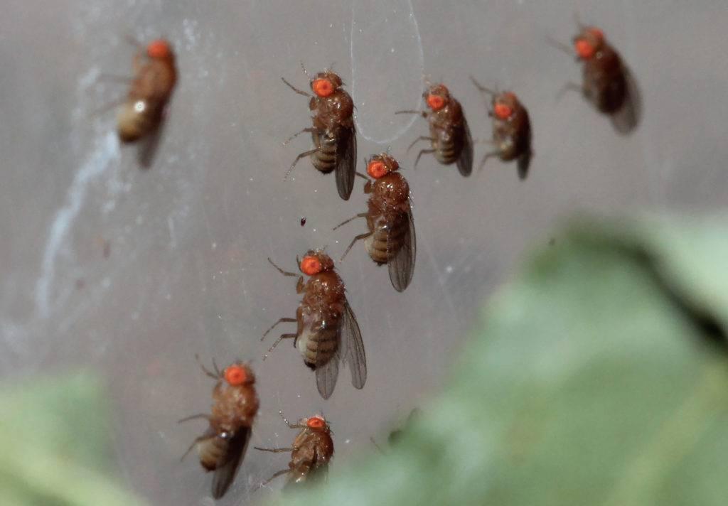 Что будет, если съесть яйца или личинки мухи. мясная муха: описание, личинки, срок жизни профилактика и меры безопасности от мух