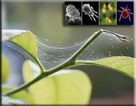 Как бороться с паутинным клещом: народными и химическими средствами