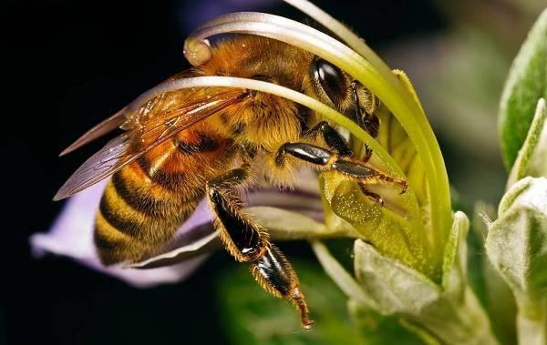 Лучшие медоносы для пчел: травы, цветы, кустарники и деревья