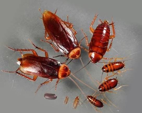 Как использовать аммиак от тараканов в квартире?