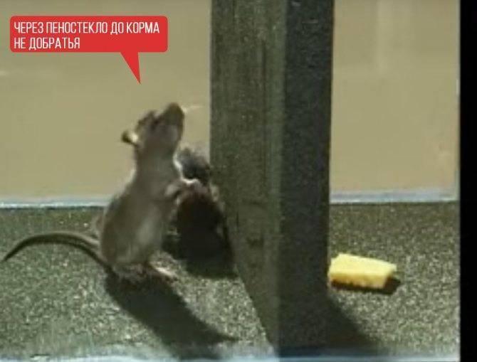 Живут ли мыши в пеноплексе