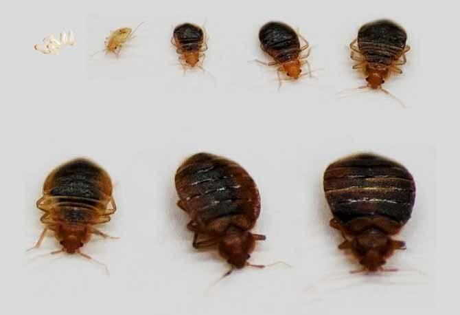 Особенности размножения постельных клопов