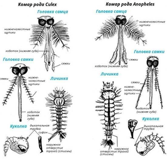 Самка и самец комара — особенности насекомых, места обитания, рацион, внешние характеристики и отличия