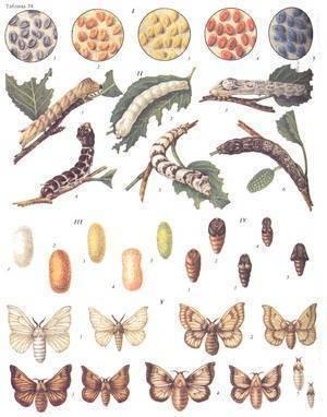 Главный вредитель лесов и садов – непарный шелкопряд