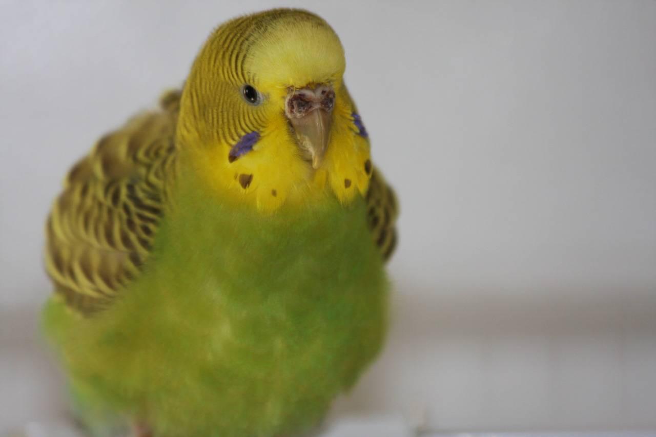 Лечение клеща у волнистого попугая: трахейный, перьевой.