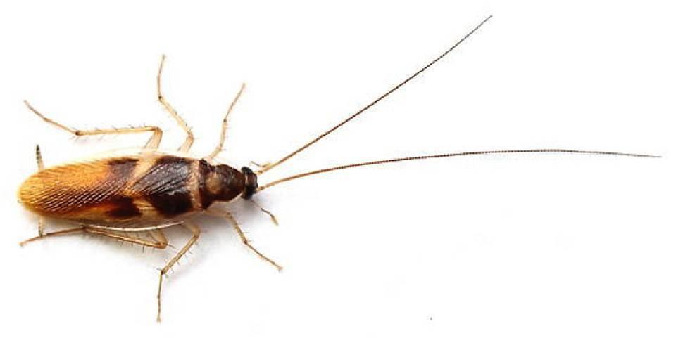 Белые домашние тараканы: причины появления и методы борьбы