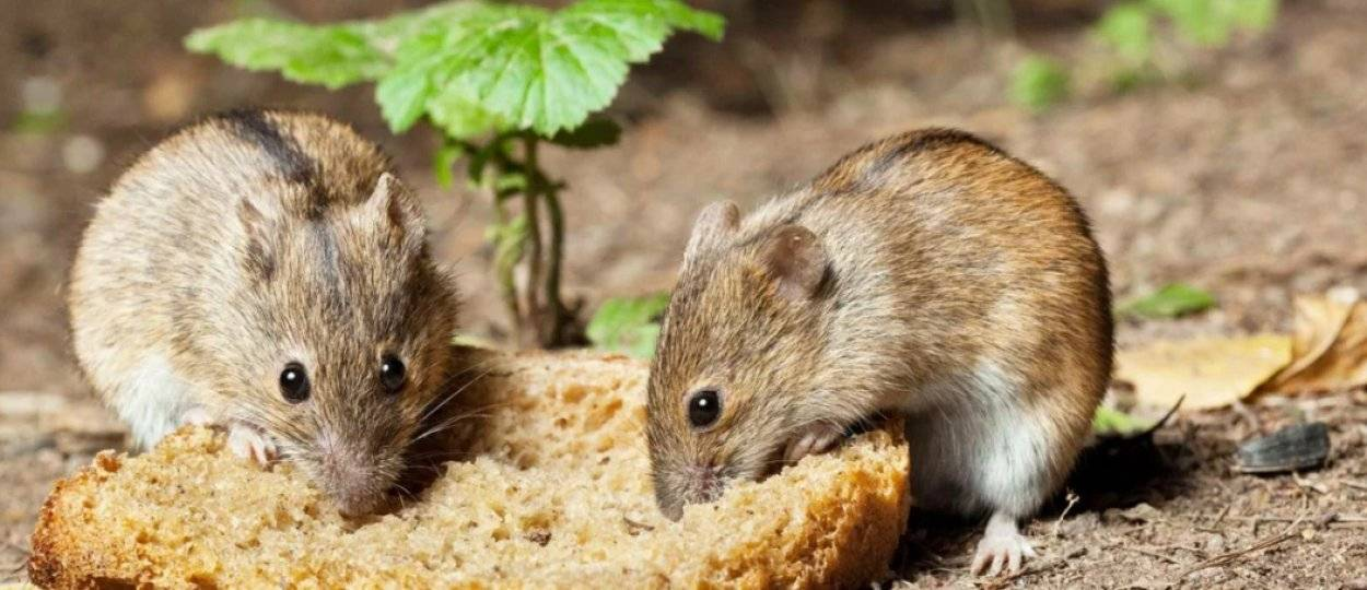 Что едят мыши?