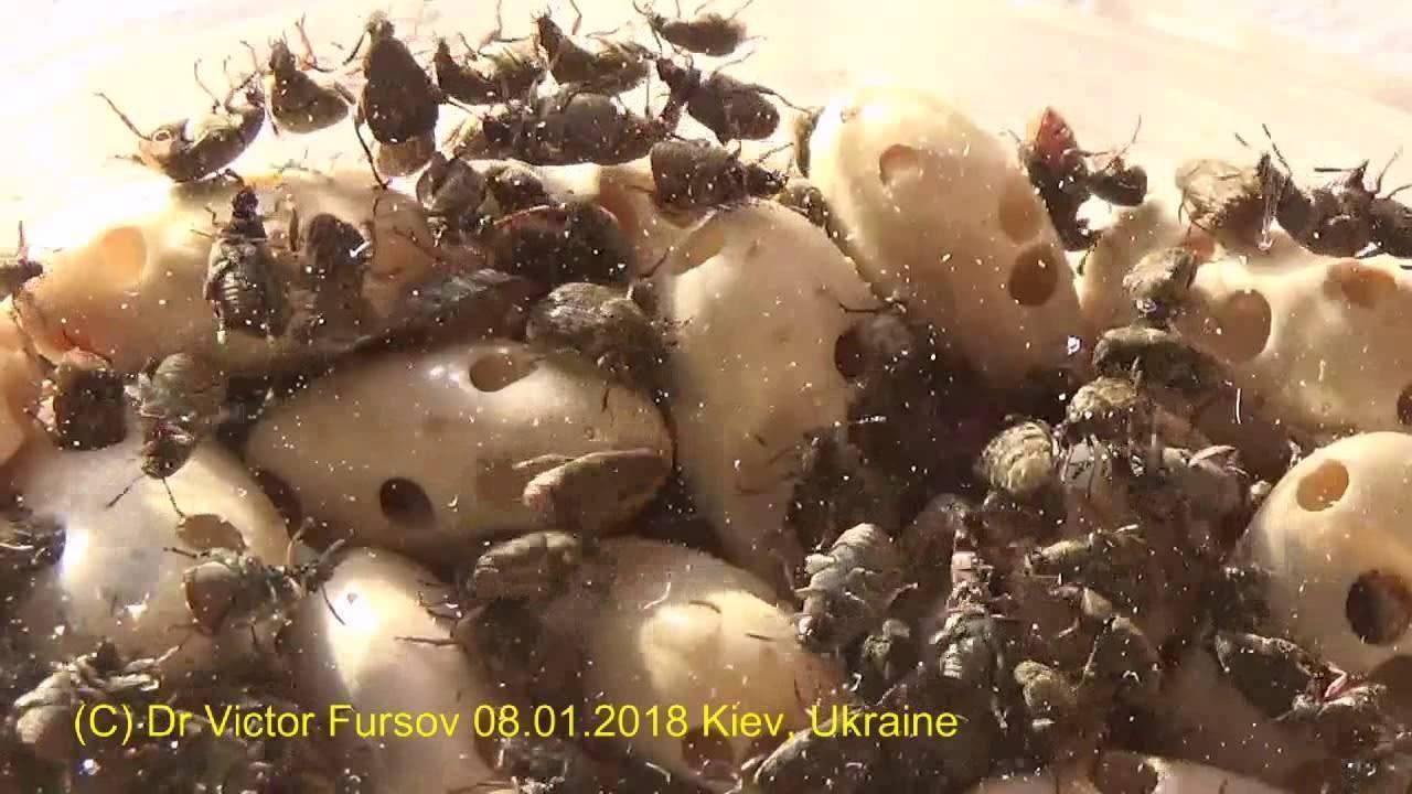 Фасолевая зерновка: как бороться с вредителями фасоли