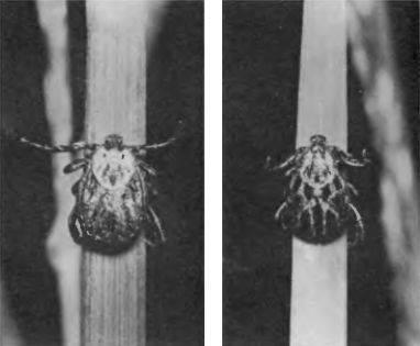 Характеристики и вред для человека гамазовых клещей
