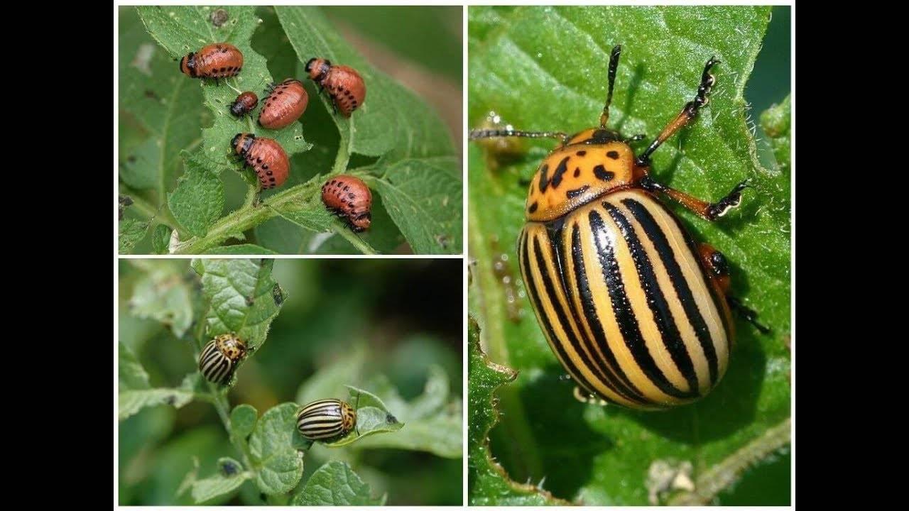 История появления колорадского жука в россии