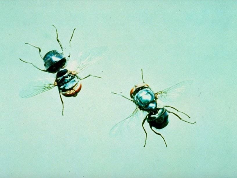 Личинки мясной мухи в человеке