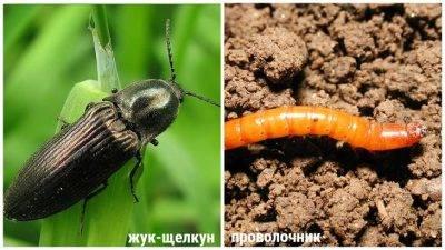Как избавиться от бабочек на капусте. чем опрыскать и как отпугнуть бабочек белянок от капусты