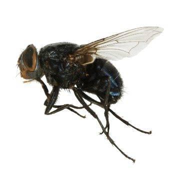 Зеленая муха: фото и описание
