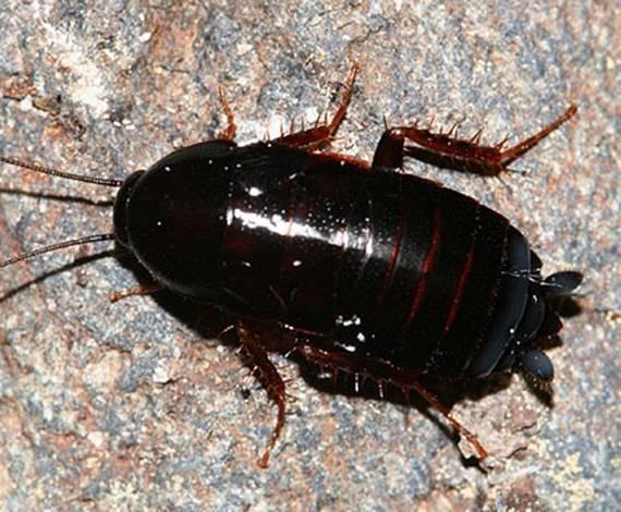 Что делать, если появились американские тараканы в квартире?