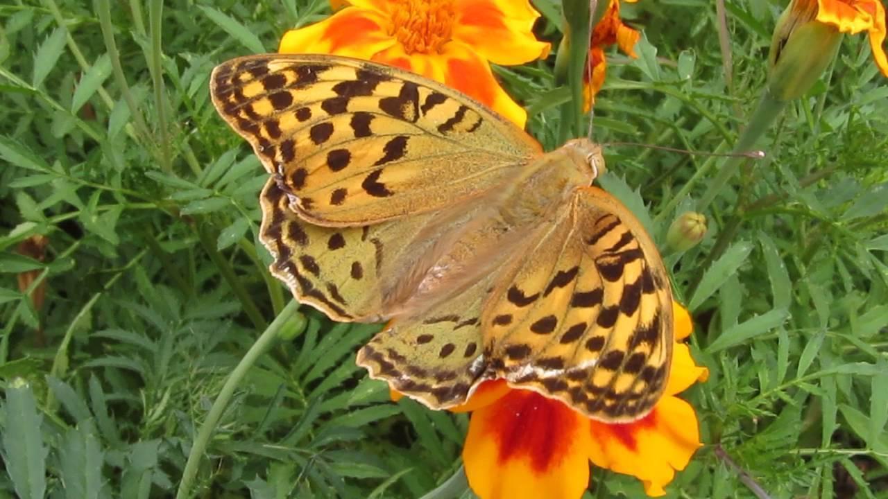 Суворовка (бабочка)
