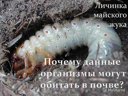 Личинки жука бронзовки