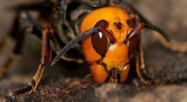 Кто умирает после укуса: оса или пчела